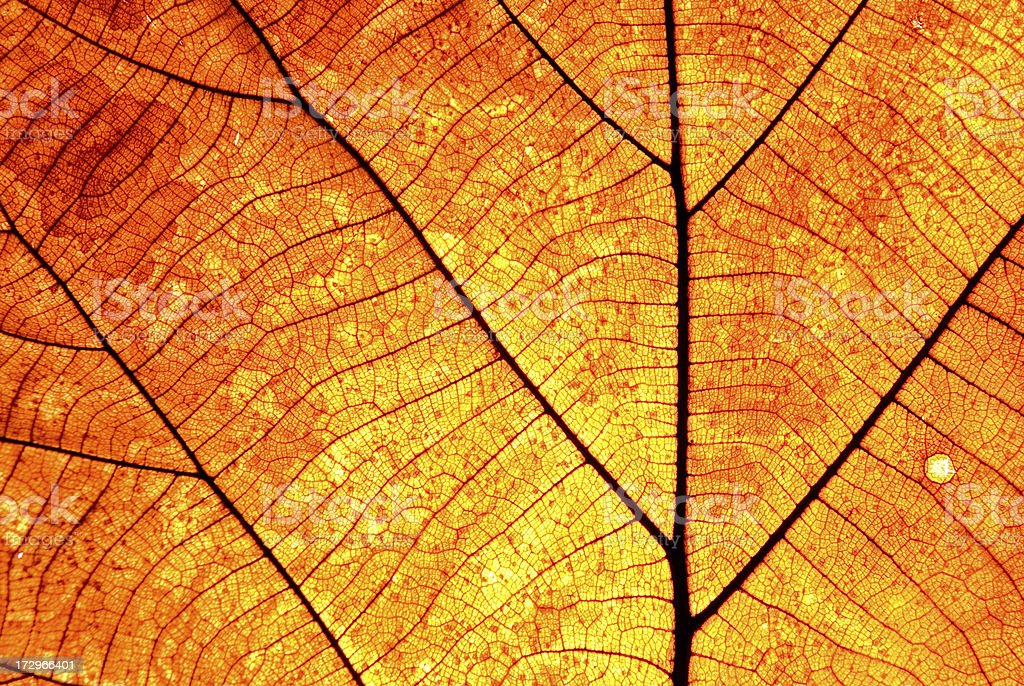 Leaf Vein Old brown and transparance stock photo