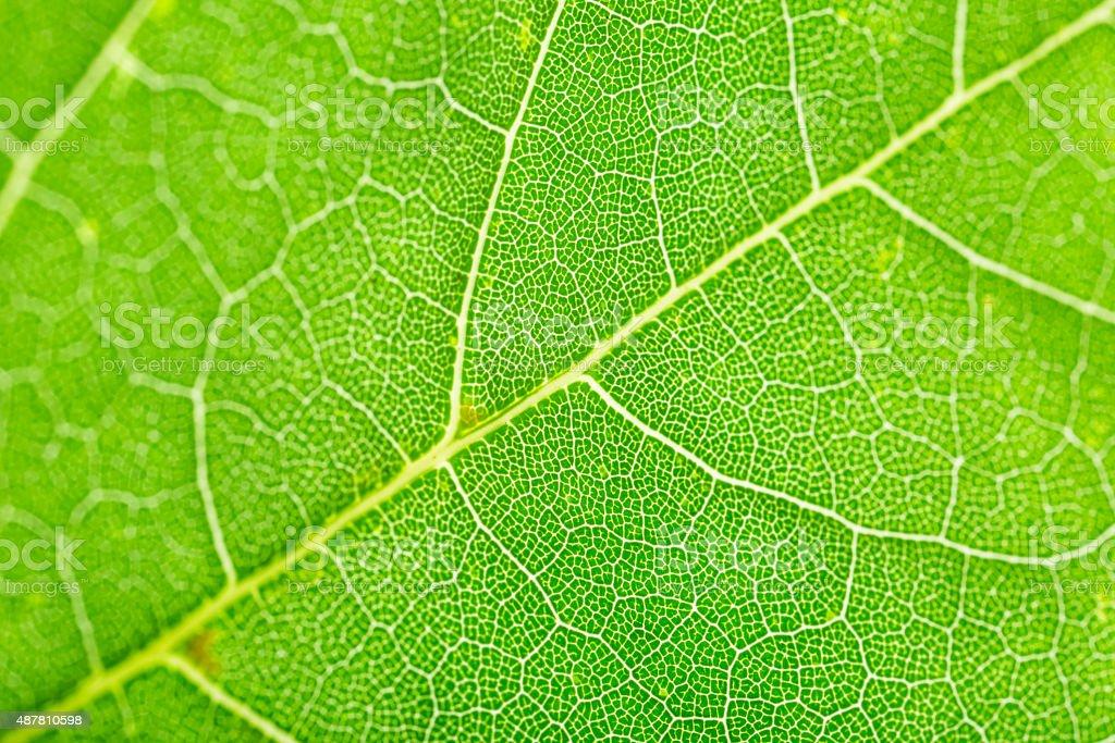 leaf veins macro stock photo