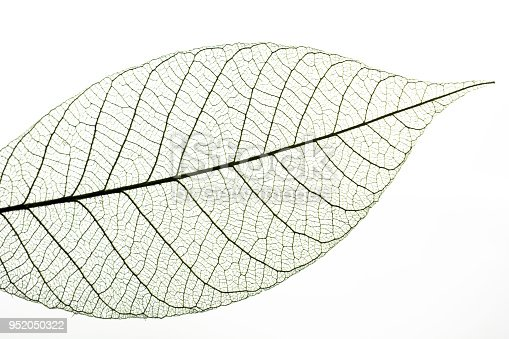 Leaf veins on a white background