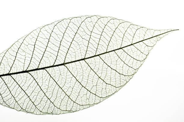 Nervures des feuilles sur fond blanc - Photo