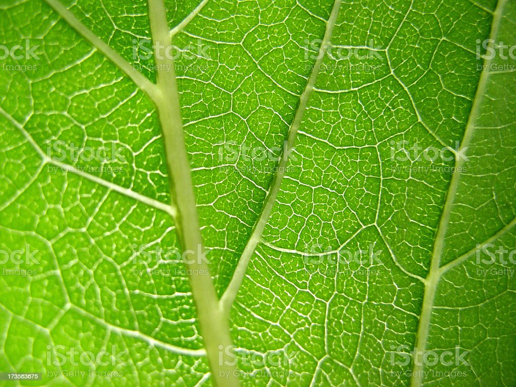leaf veins royalty-free stock photo