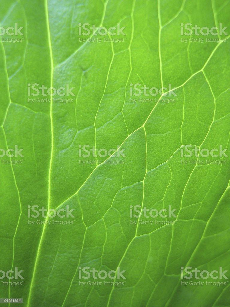 Leaf Veins royalty-free stock photo