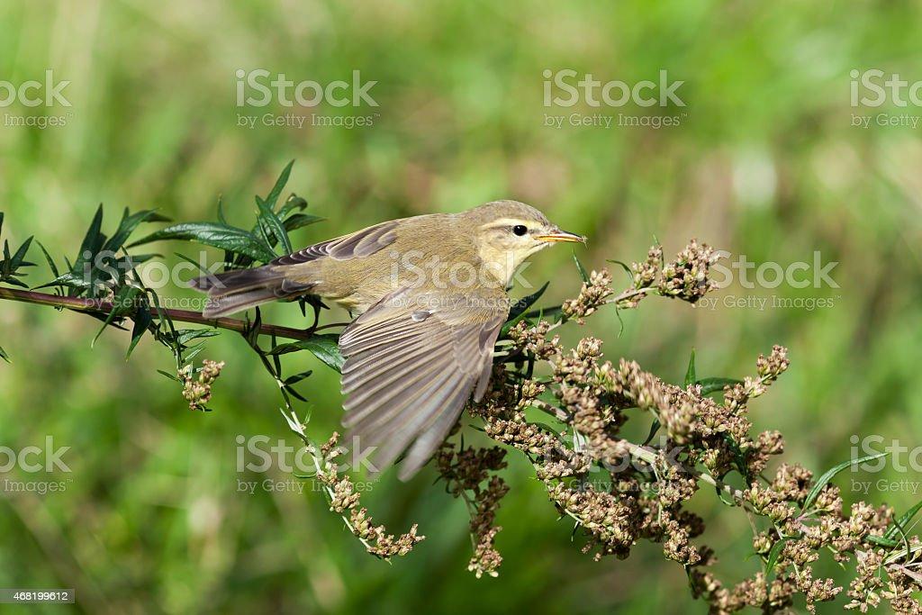 Leaf warbler (Phylloscopus sp) stock photo