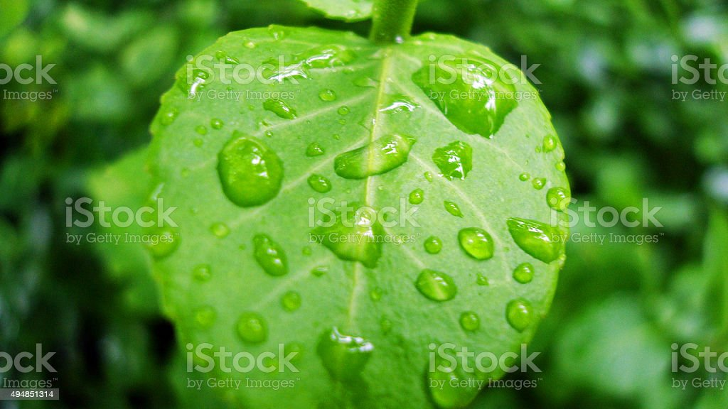 Leaf Water Drops stock photo