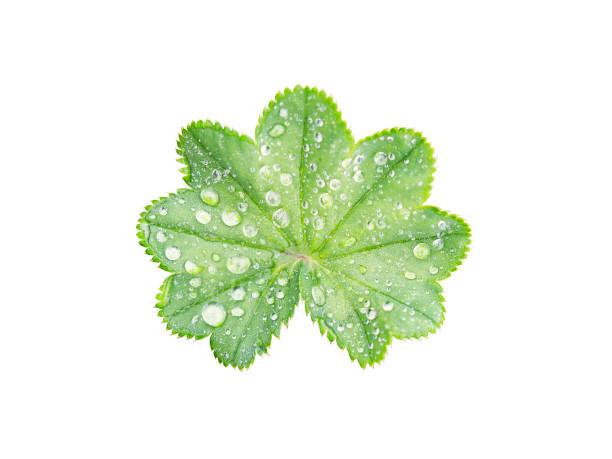leaf with a wavy edge covered with droplets of dew isolated on white background. - przywrotnik zdjęcia i obrazy z banku zdjęć