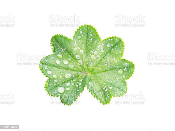 Photo of Leaf with a wavy edge covered with droplets of dew isolated on white background.