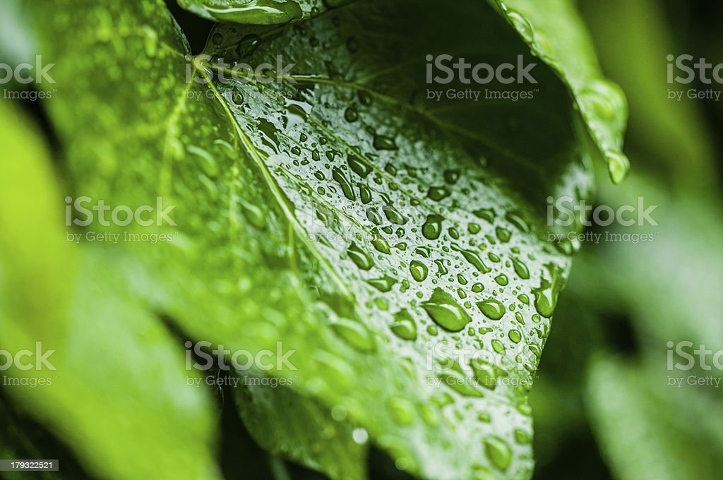 leaf with drops royalty-free stock photo