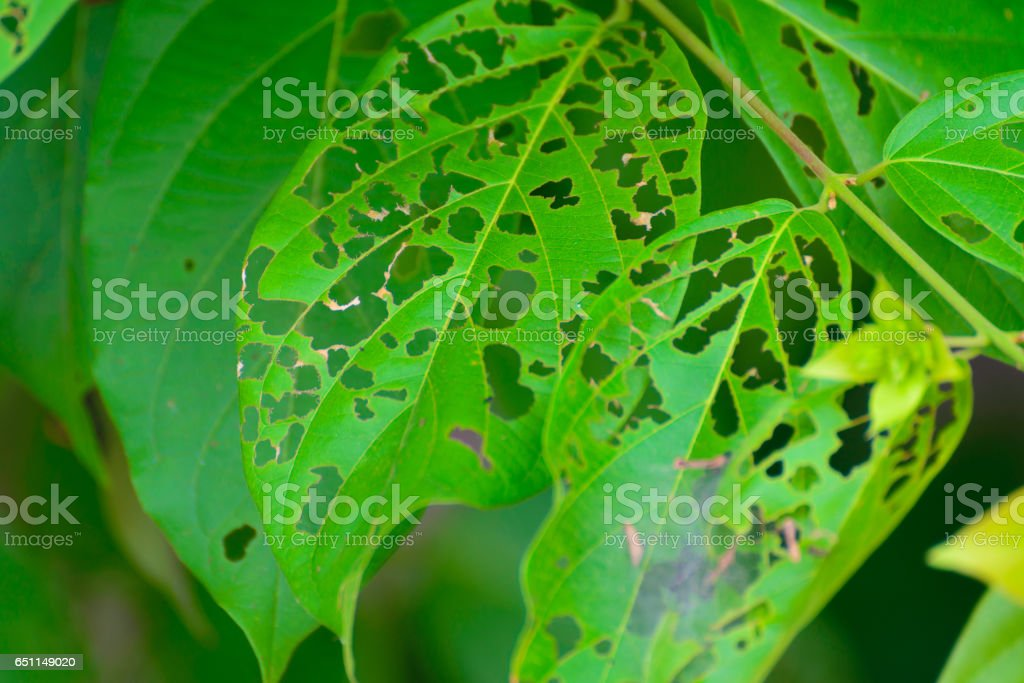 Leaf with holes, eaten by pests, diseased and decayed stock photo