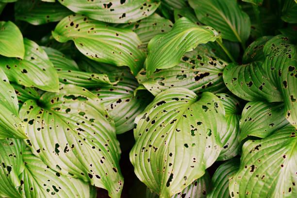 Blätter mit Löchern, gegessen von Pest – Foto