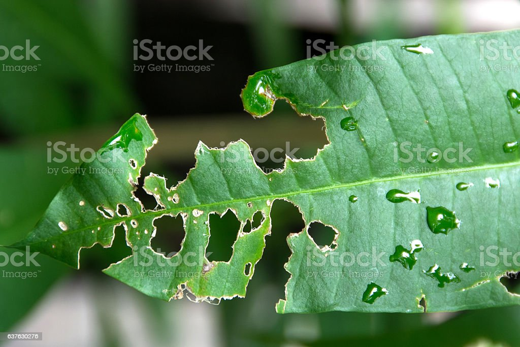 leaf with holes stock photo
