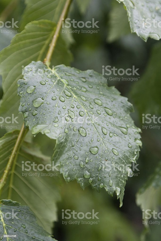 leaf with rain drops royalty-free stock photo