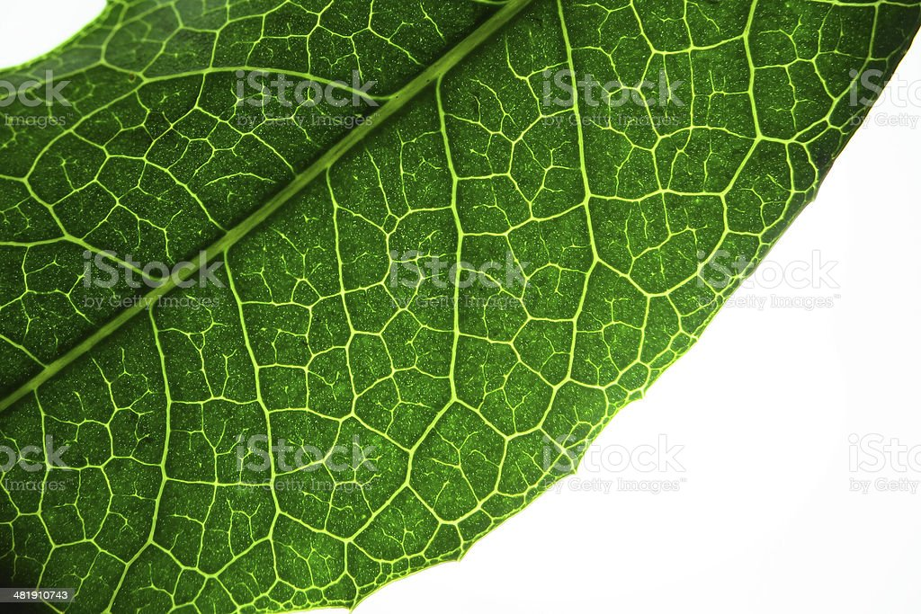 Leaf with transmitted light stock photo