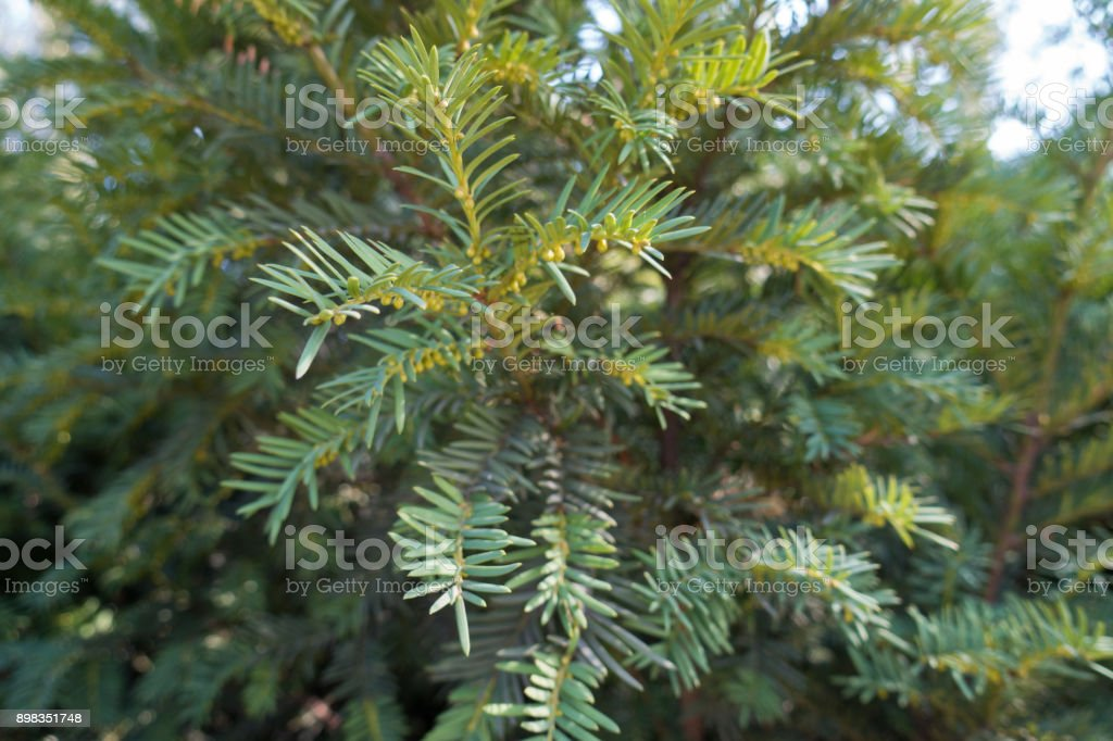Leafage and immature male cones of yew stock photo