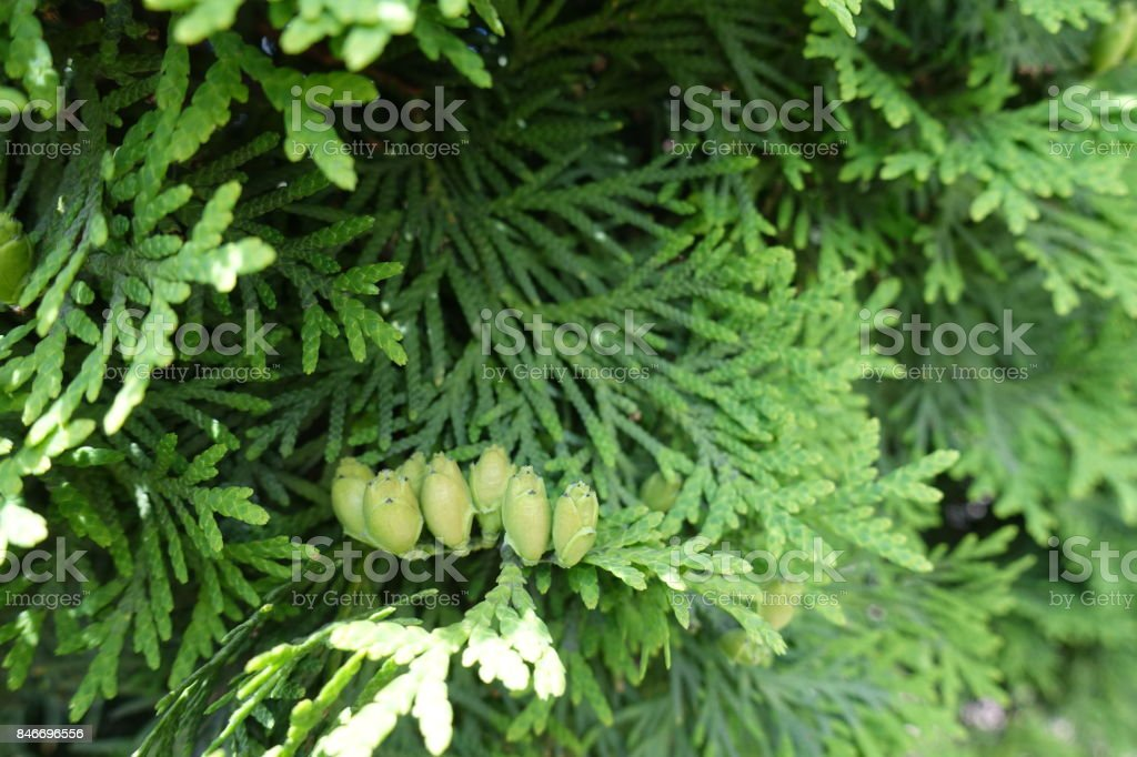 Leafage and immature seed cones of Thuja occidentalis stock photo