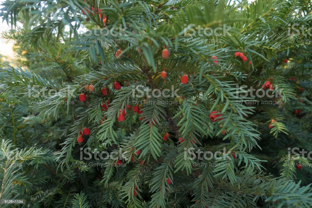Leafage and red berries of European yew stock photo
