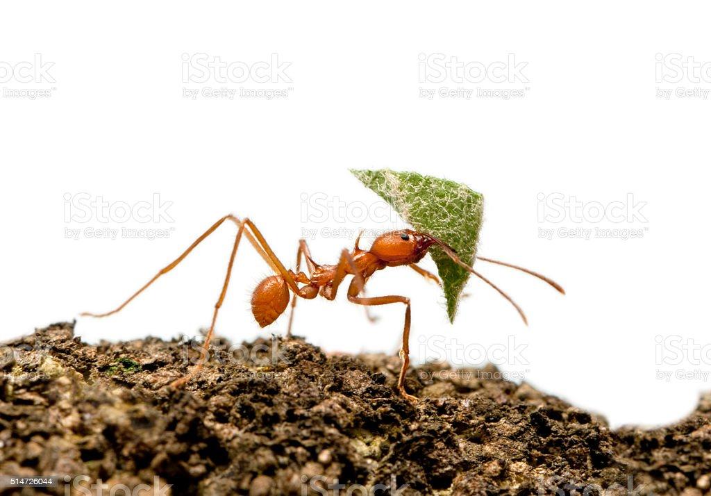 Hormiga Cortadora De Hojas Acromyrmex Octospinosus Hoja De ...