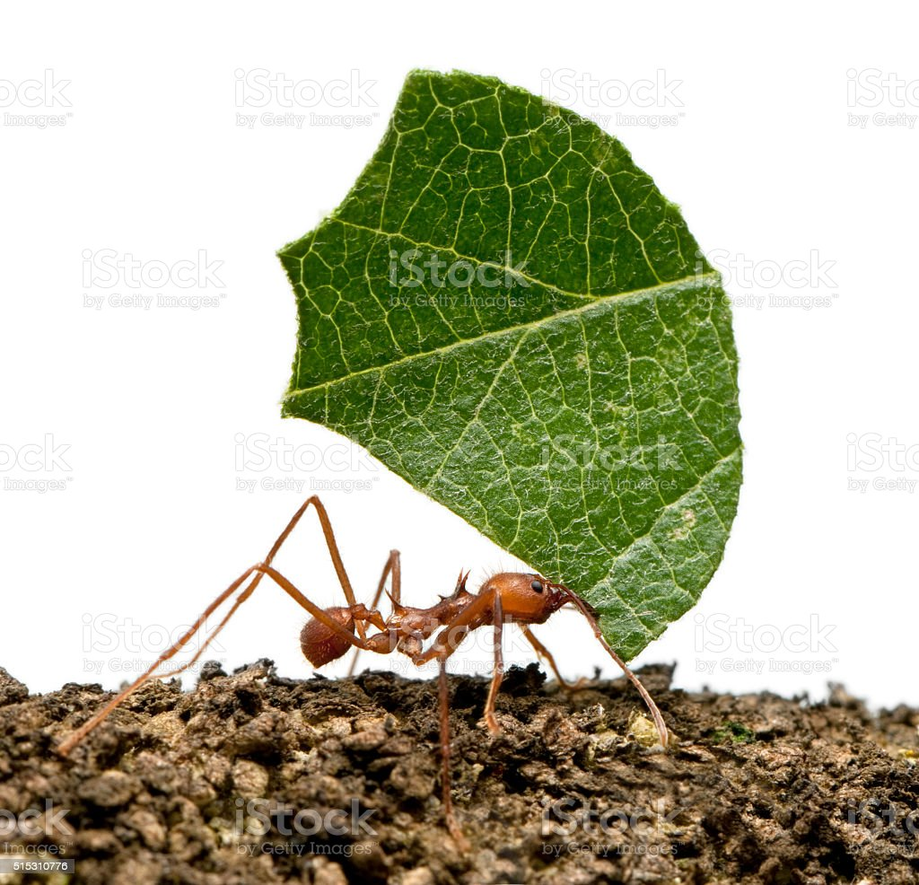 Leaf-cutter ant, Acromyrmex octospinosus, carrying leaf stock photo