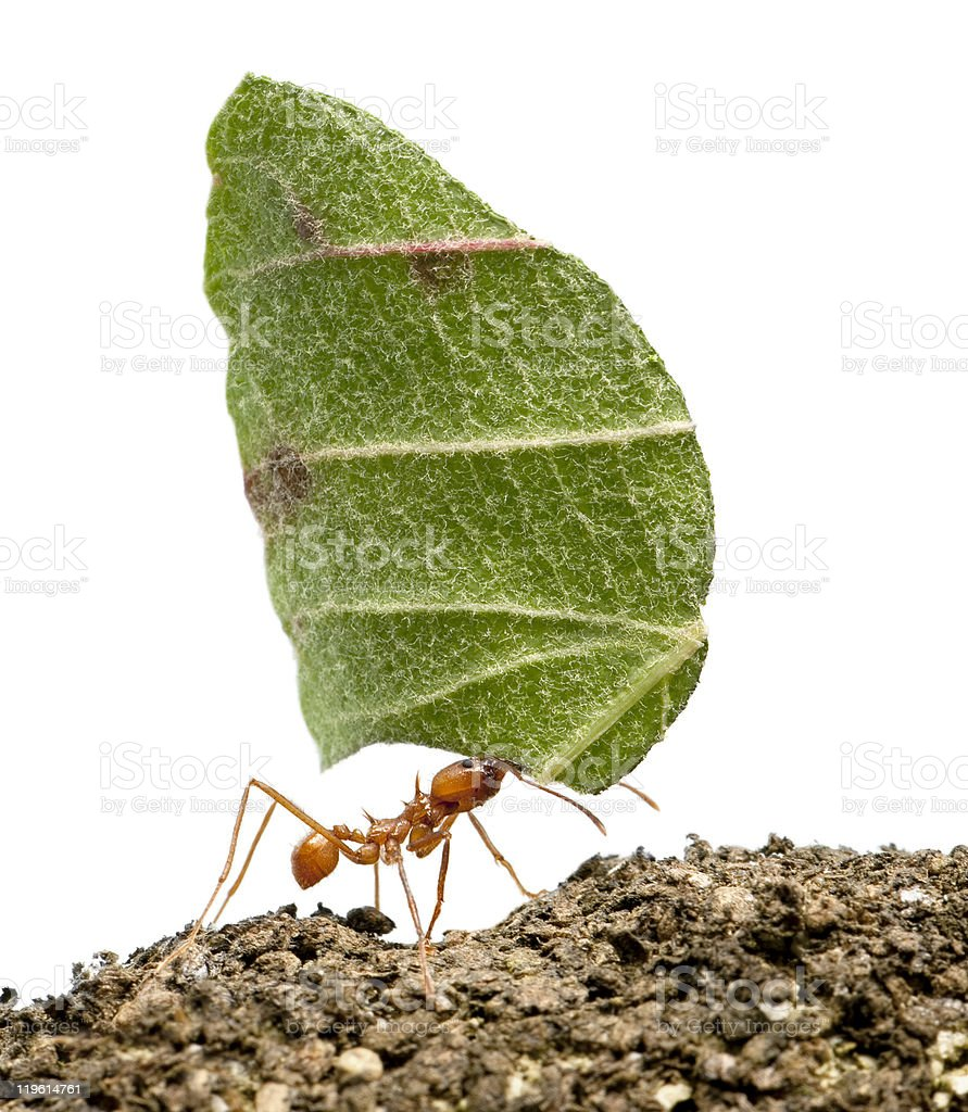 Leaf-cutter ant, Acromyrmex octospinosus, carrying leaf, white background. stock photo