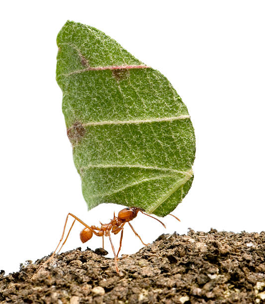 Leaf-cutter ant, Acromyrmex octospinosus, carrying leaf, white background.  ant stock pictures, royalty-free photos & images