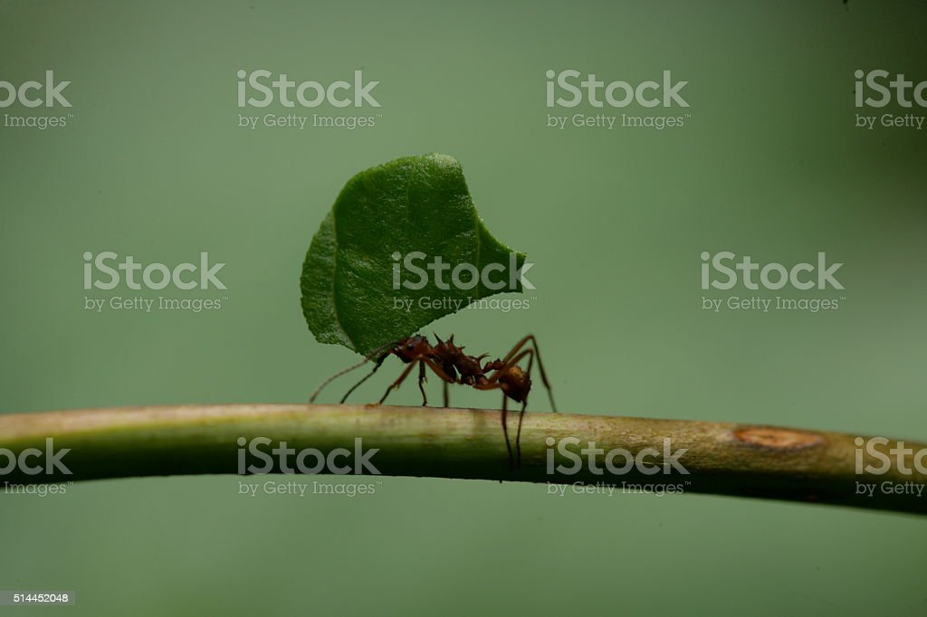 Leaf-cutter Ant Atta cephalotes stock photo