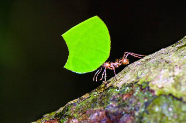Leafcutter Ameisen – Foto