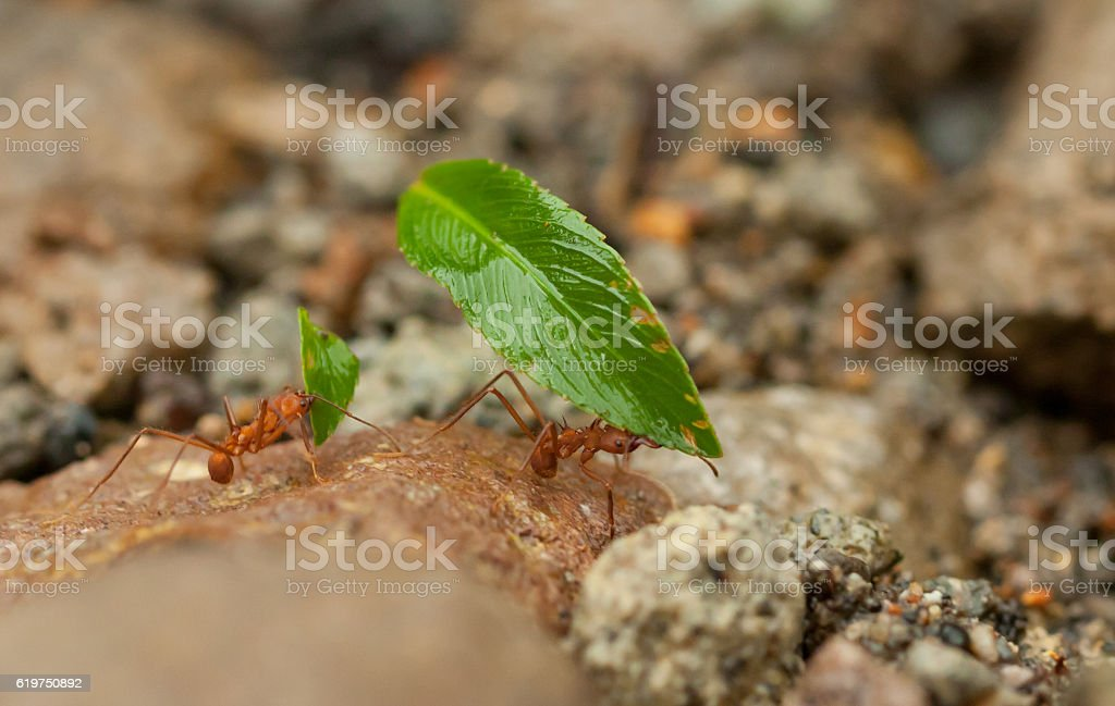Leafcutter ants are working stock photo