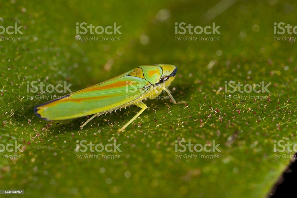 Leafhopper royalty-free stock photo