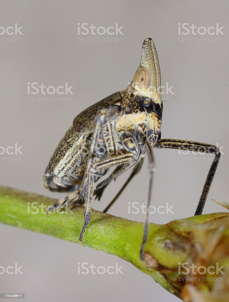 Leafhopper stock photo
