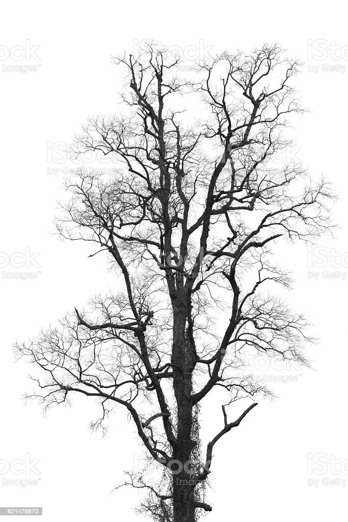 Leafless And Withered Tree Isolated White Stock Photo ...