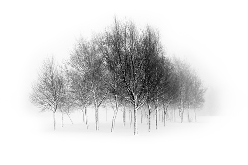 Leafless birch trees isolated in white background