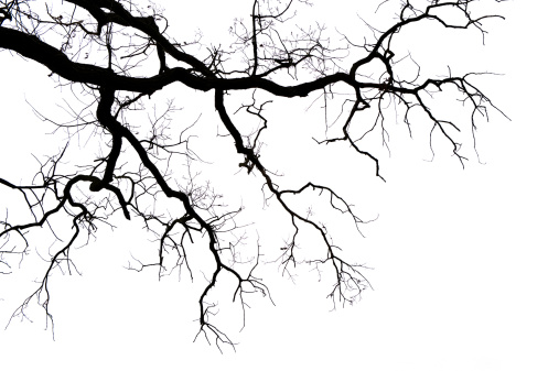 Leafless branches on white