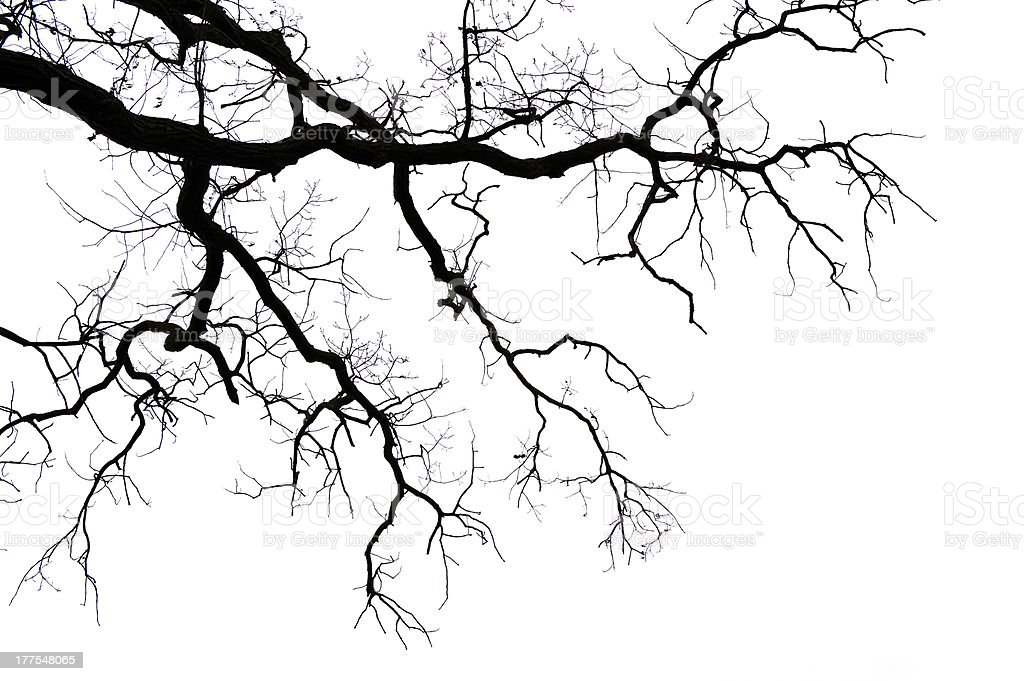 Leafless les branches sur blanc - Photo