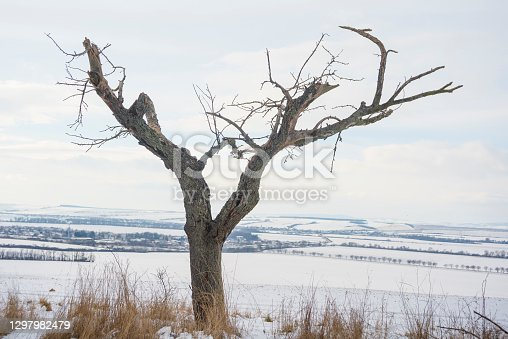 istock Leafless dead trees in the winter with a snow 1297982479
