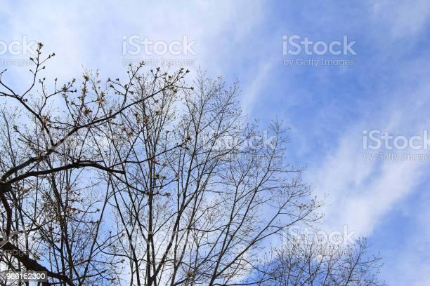 Avlövade Träd Mot Blå Himmel På Vintern-foton och fler bilder på Blå