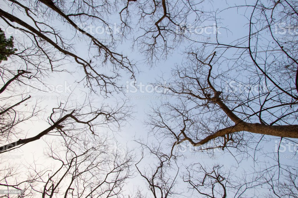 Leafless trees with blue sky background royalty-free stock photo