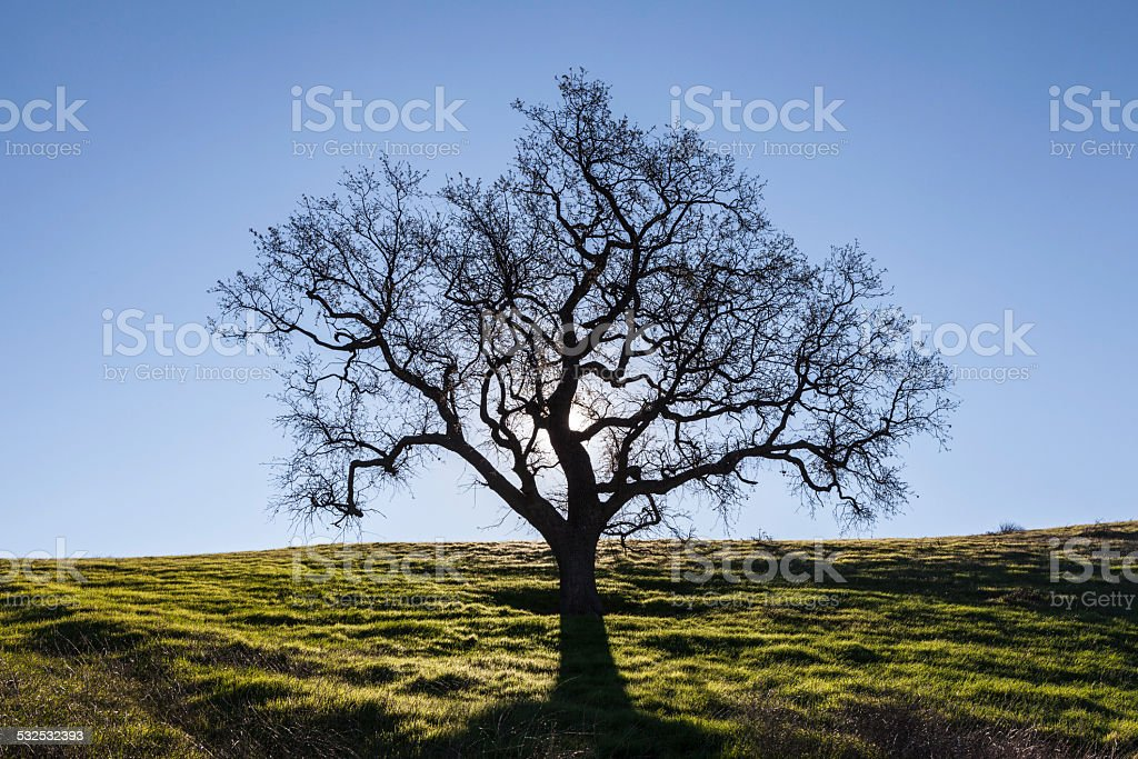 Leafless White Oak with Spring Grass. stock photo
