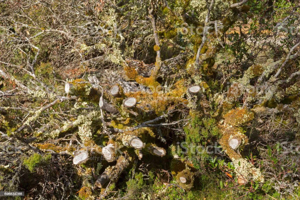Leaflike Lichen and moss growing on dead branches in forest at Cradle mountain, Tasmania, Australia stock photo