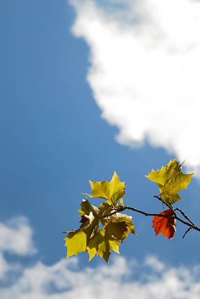 leafs against autumn blue sky 2 stock photo