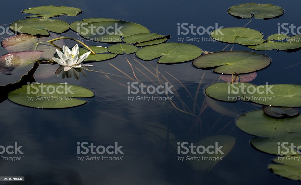 Leafs and water lily stock photo