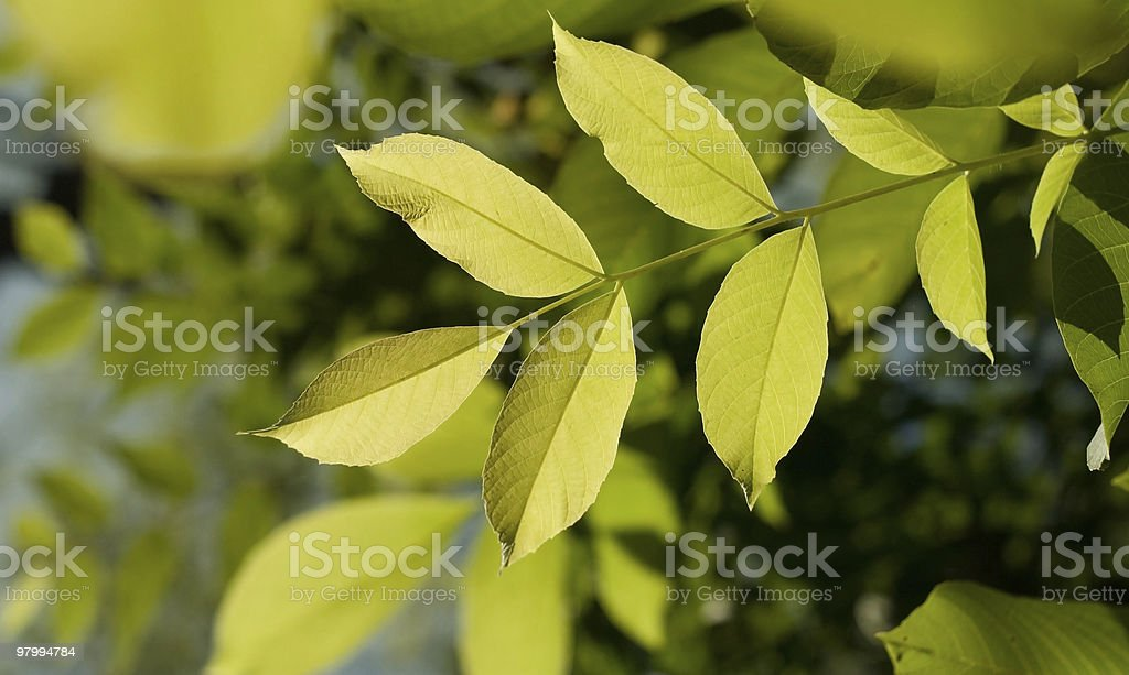 leafs foliage royalty-free stock photo