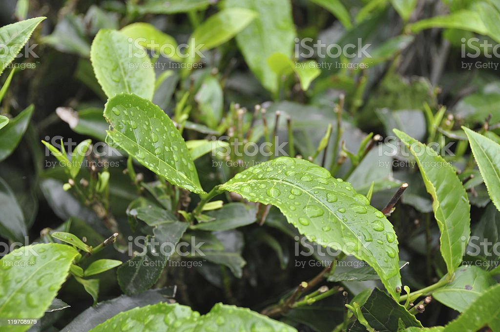 Leafs from Tea Grden South India royalty-free stock photo