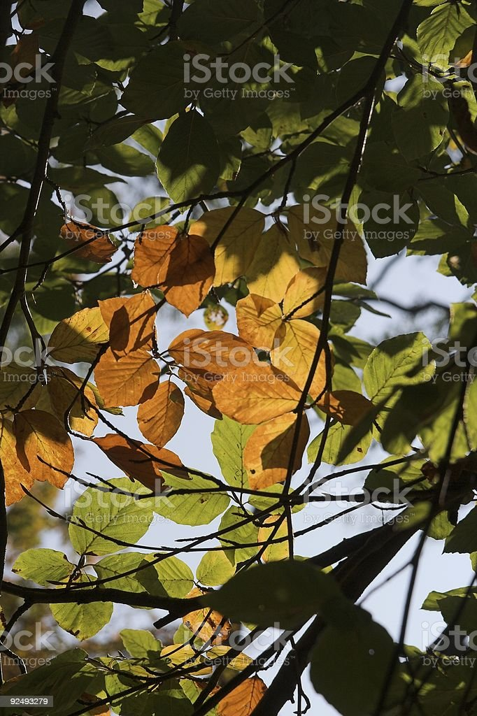 Leafs in the fall royalty-free stock photo