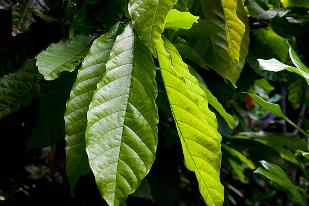 Leafs of a cocoa tree in Nicaragua stock photo