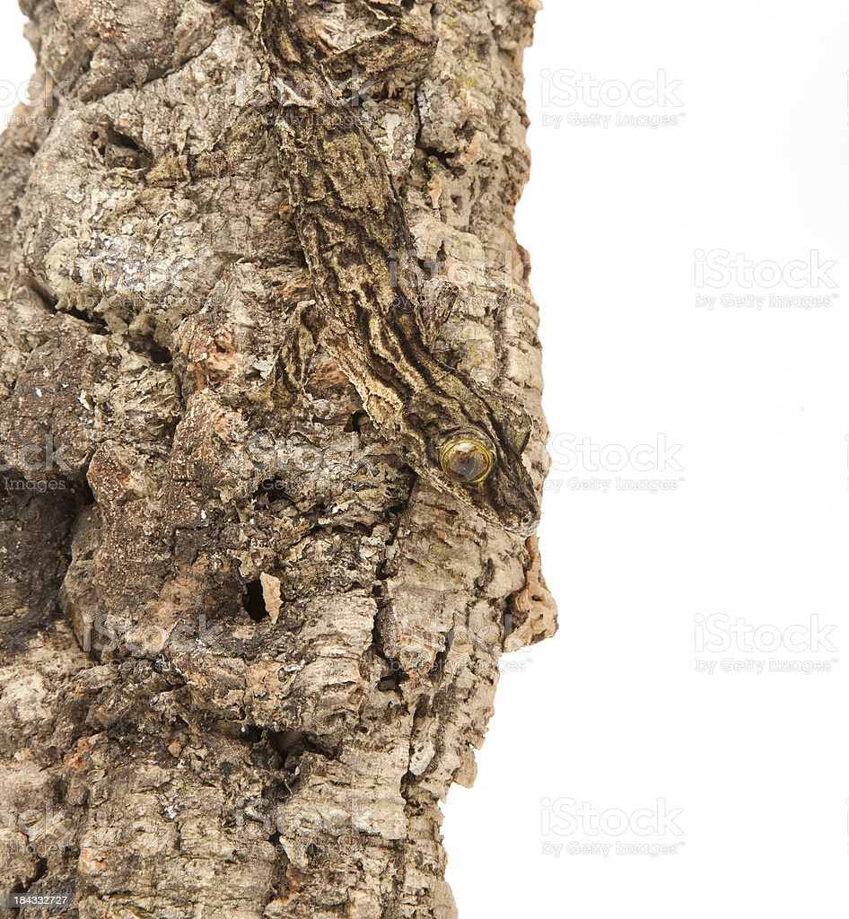 Leaf-tailed Gecko, camouflaged against a tree stock photo