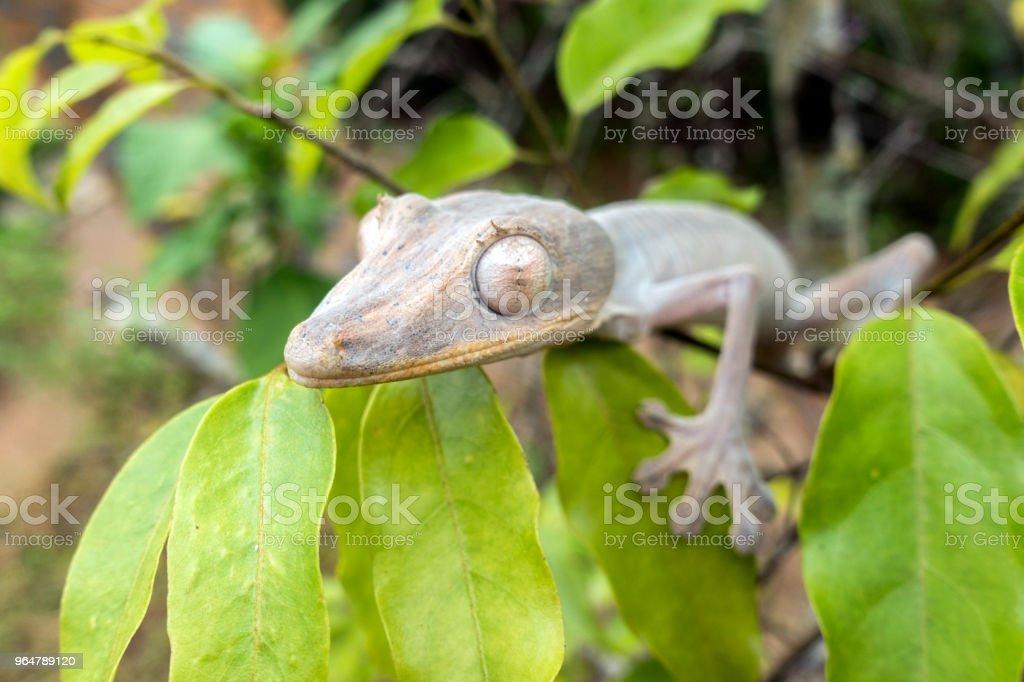 Leaf-tailed Gecko / Uroplatus phantasticus, Madagascar royalty-free stock photo