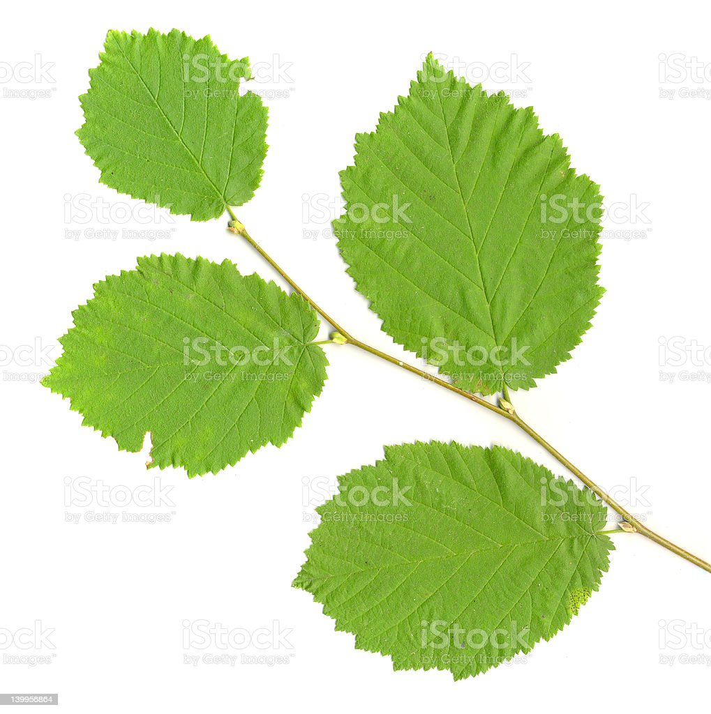 Leafy Branch isolated stock photo