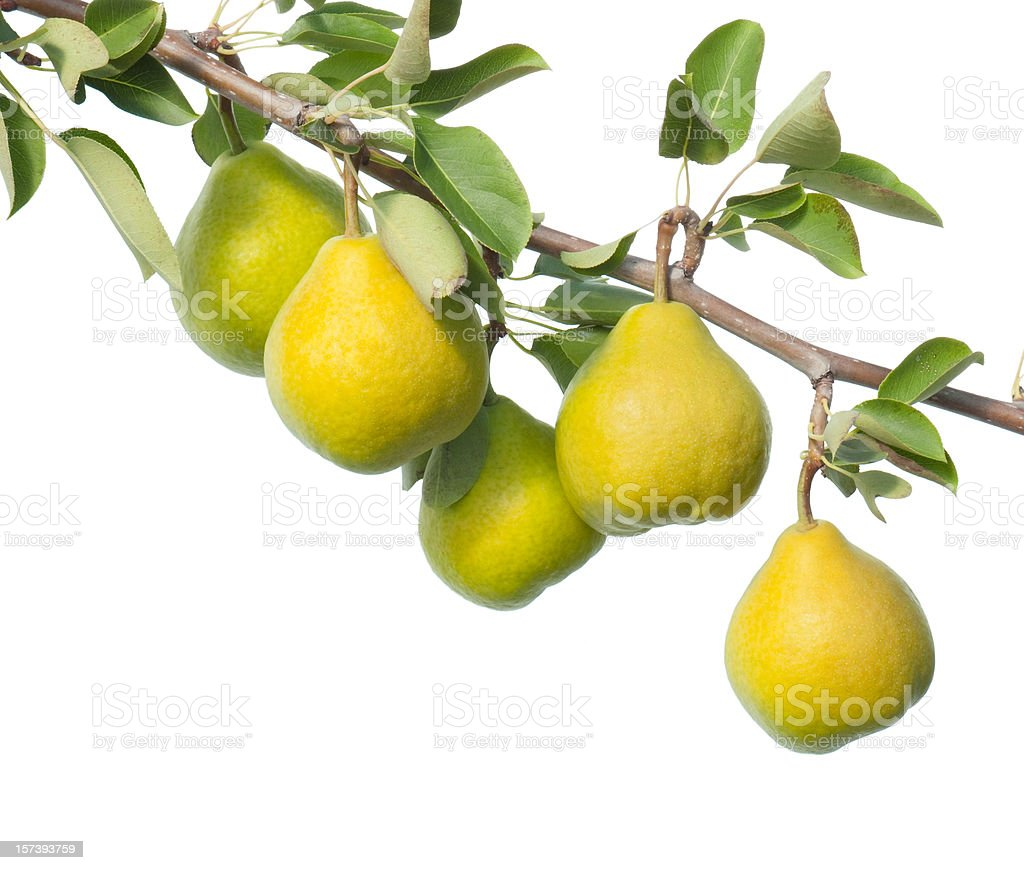 Leafy branch of yellow pears on white background stock photo