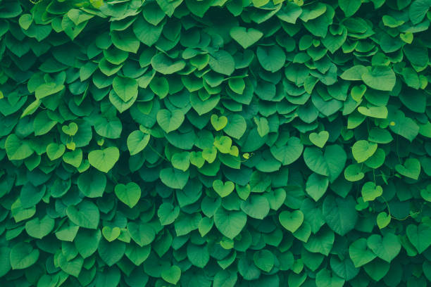 Leafy green background A leafy green background with heart shaped leaves (pipevine). lush foliage stock pictures, royalty-free photos & images
