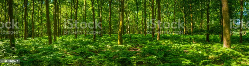 Leafy green fern frond forest idyllic summer woodland glade panorama stock photo
