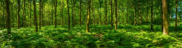 grünen grünen farn wedel wald idylle sommer waldlichtung panorama - baumgruppe stock-fotos und bilder
